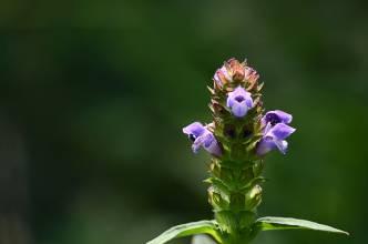 夏桑菊的功效与作用_夏枯草有什么作用功效 夏枯草的副作用有哪些_百草录